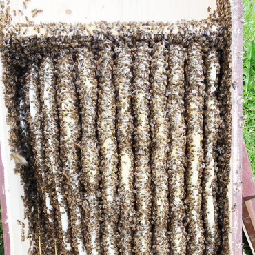 Productthumb bienenvolk